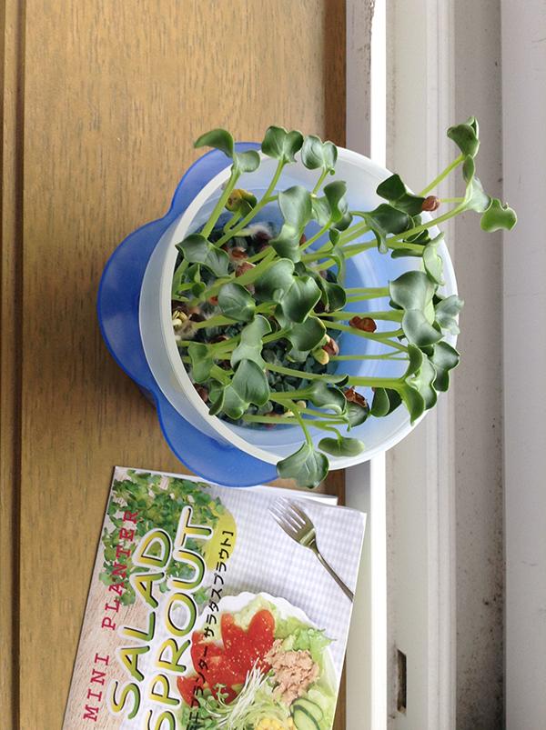 ネットで注文した【かいわれ大根栽培セット】が到着したので取りあえず植えてみた