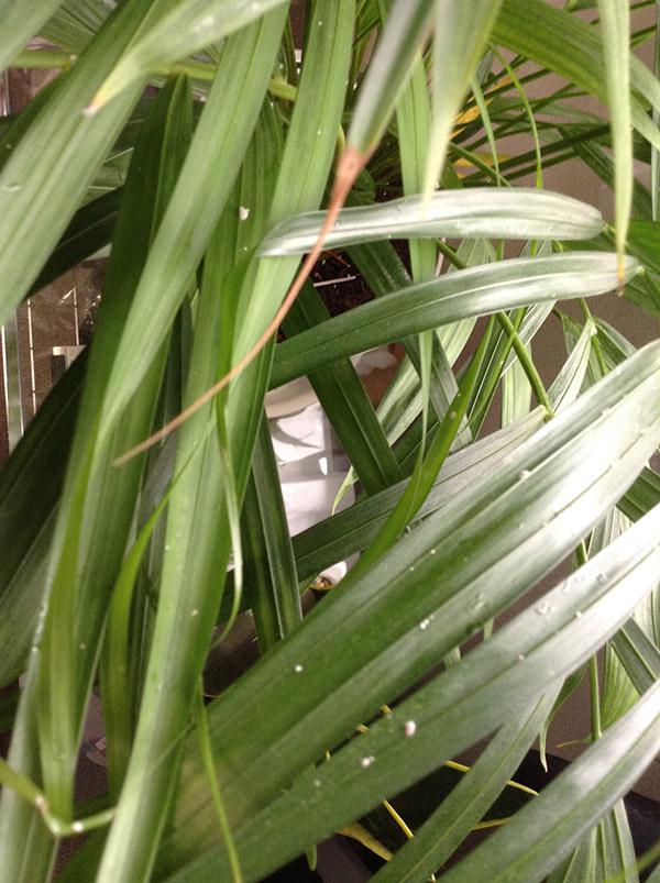アレカヤシについてる白い虫の駆除方法【意外と簡単】
